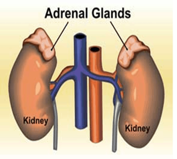 adrenal-glands