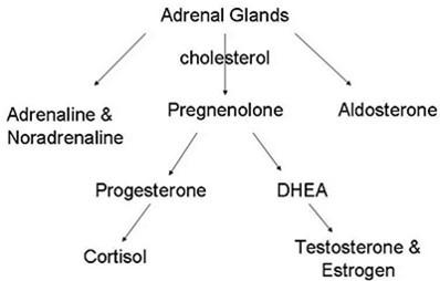 adrenal glands